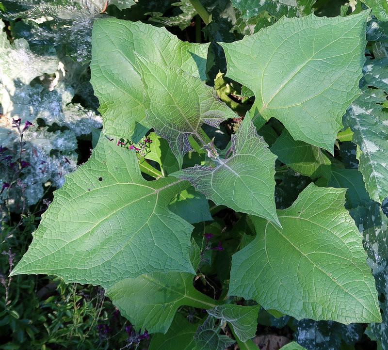 La d couverte du yacon la poire de terre blog oleomac for Acheter de la terre pour jardin