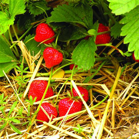 ETE_PRI_fraise_plante_herbe_fruit