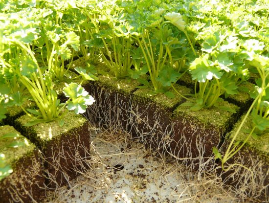 persil semis