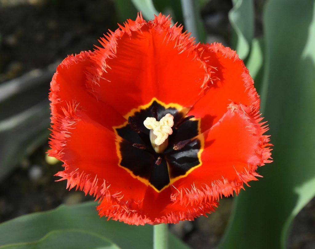 tulips-3374117_1280