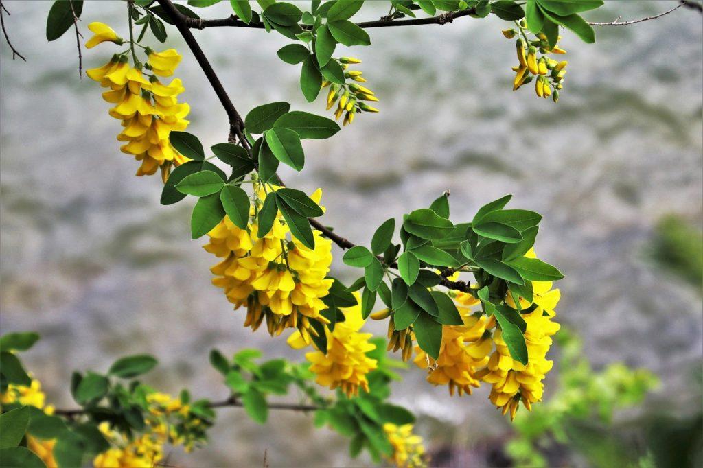 glycine jaune