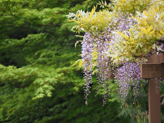 glycine wisteria