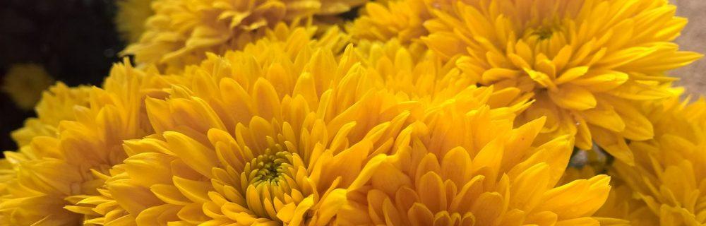 chrysantheme jaune