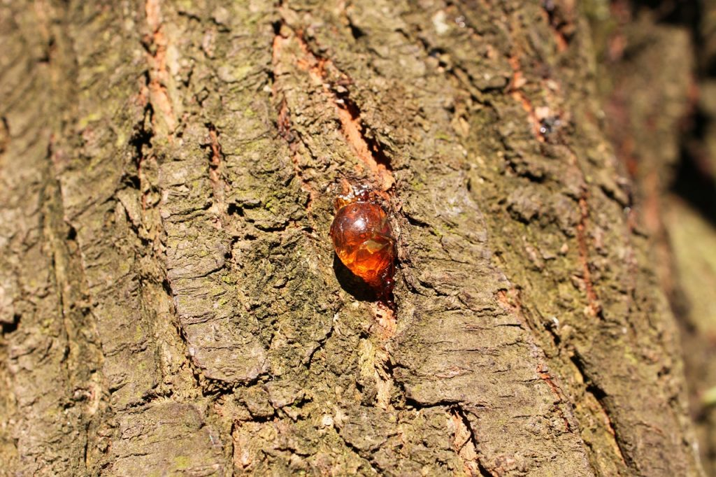 gommose arbre