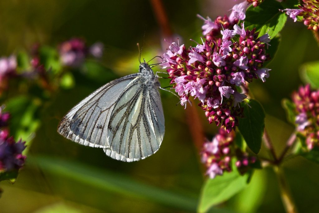 piéride du chou papillon