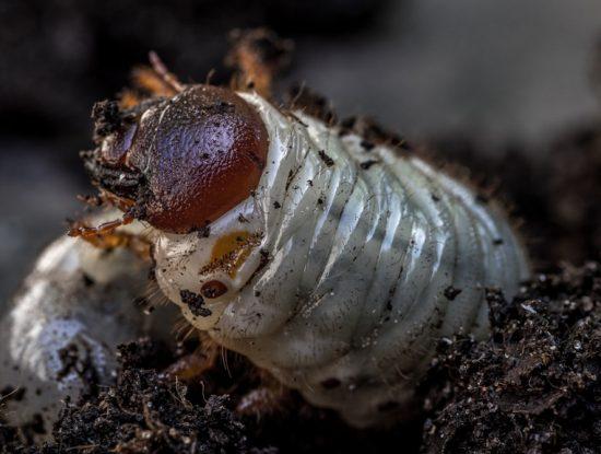 larve de hanneton