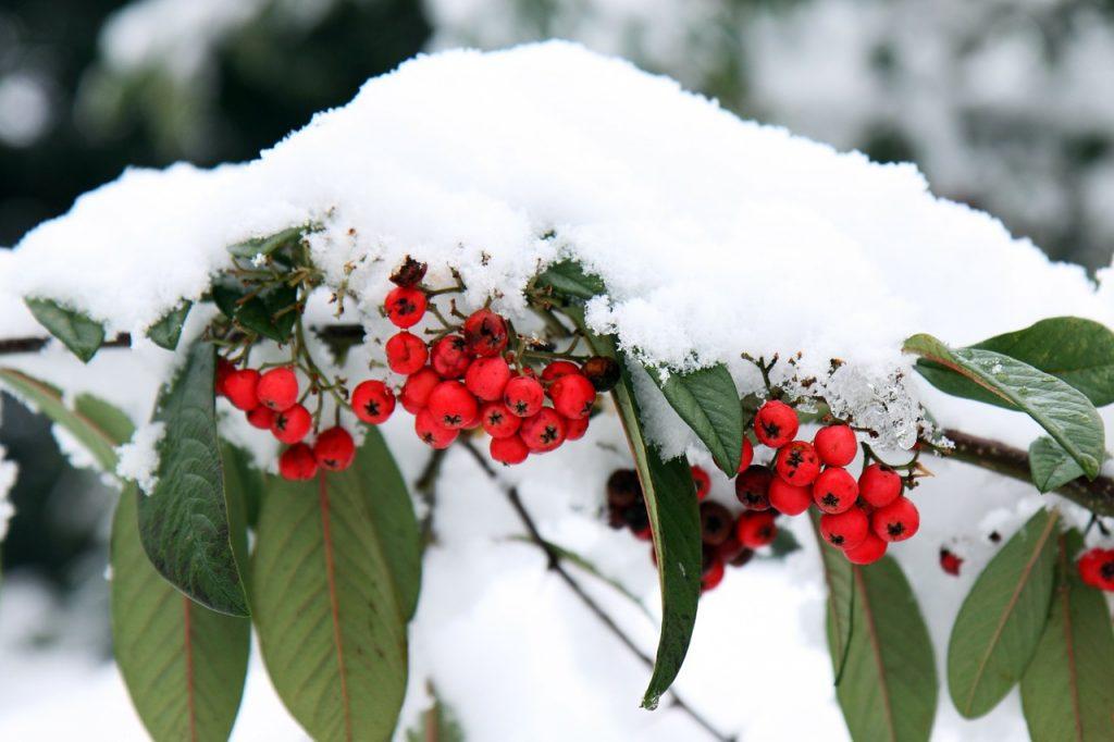 décembre jardin baie rouge