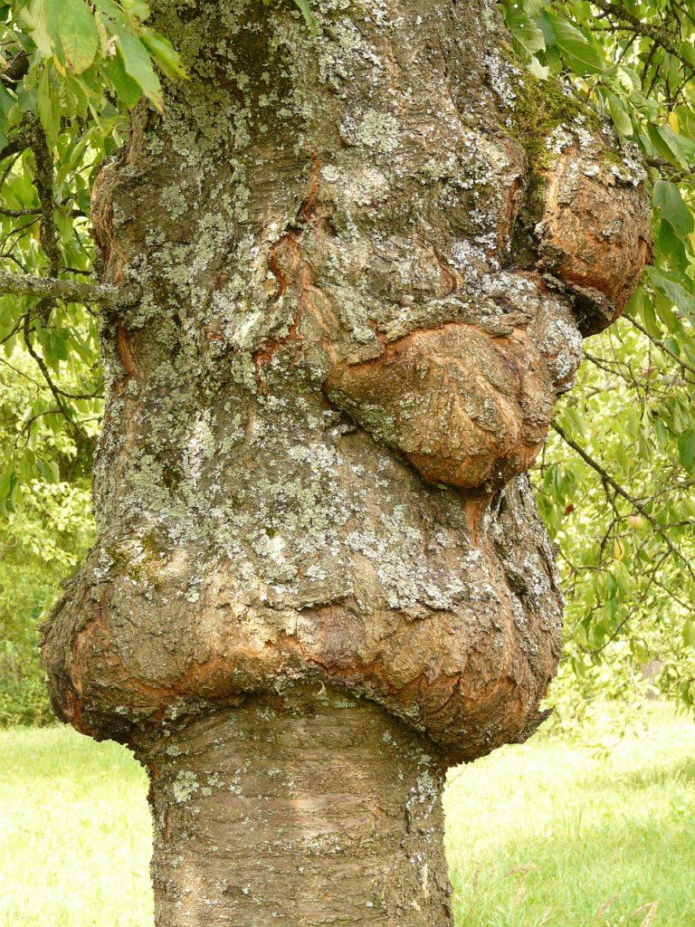 chancre arbre oleomac