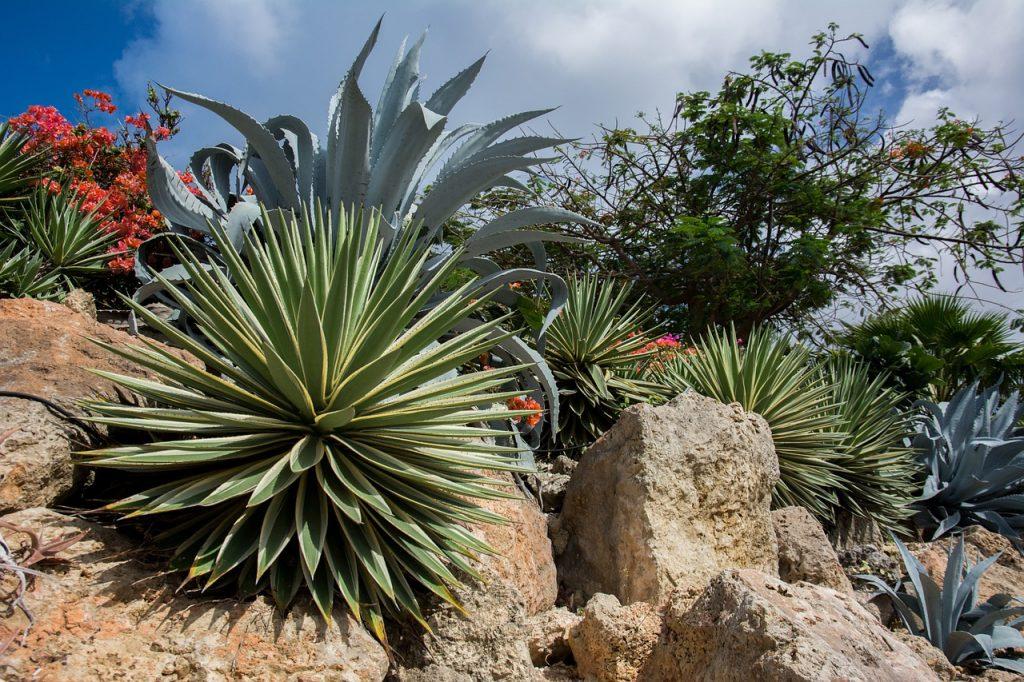 agave plantes sobres oleomac