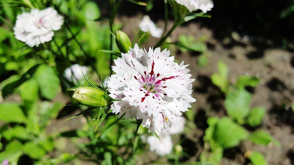 oeillet plantes sobres oleomac