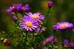 aster oleomac fleur de naissance