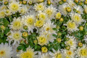 chrysantheme oleomac fleur de naissance