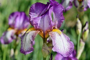 iris oleomac fleur de naissance
