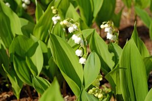 muguet oleomac fleur de naissance