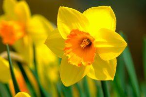 narcisse oleomac fleur de naissance