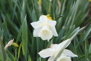 narcisse paperwhite oleomac fleur de naissance
