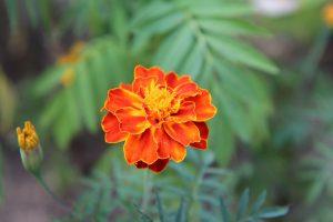 oeillet oleomac fleur de naissance