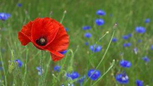 pavot oleomac fleur de naissance