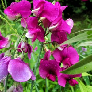 pois de senteur oleomac fleur de naissance
