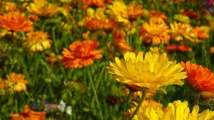 souci oleomac fleur de naissance