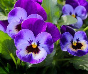 violette oleomac fleur de naissance