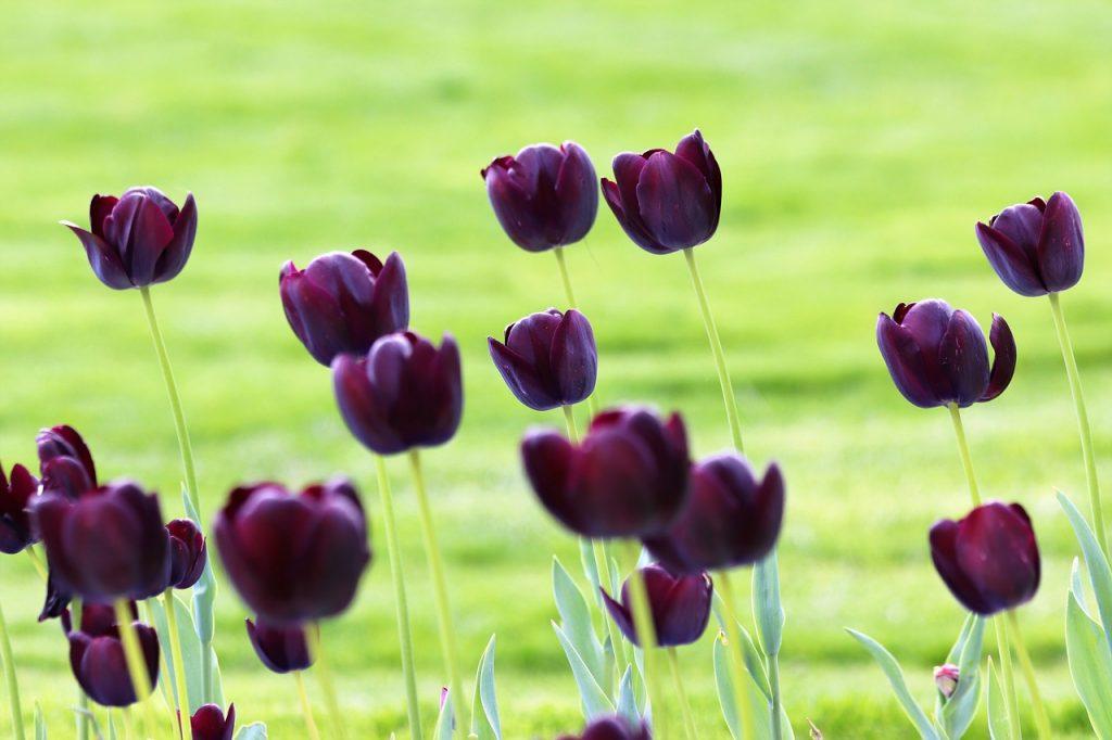 tulipe noire oleomac