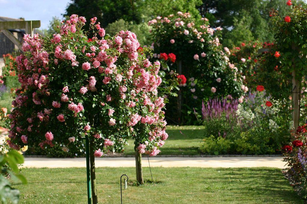 rosier tige rose