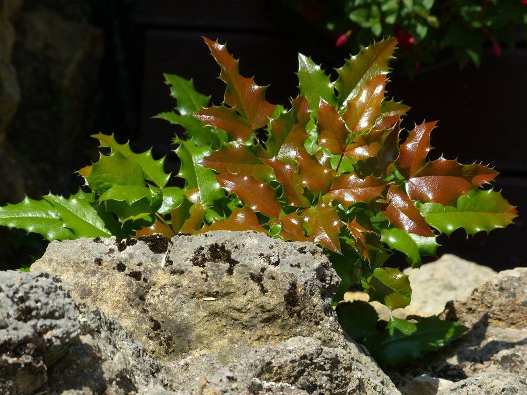 Comment Faire Une Pousse De Houx en novembre, plantons du houx ! | blog oleomac
