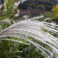 gramines jardin