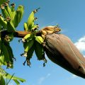 banane fruit inflorescence