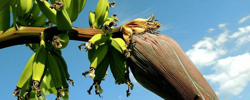 banane fruit inflorescence