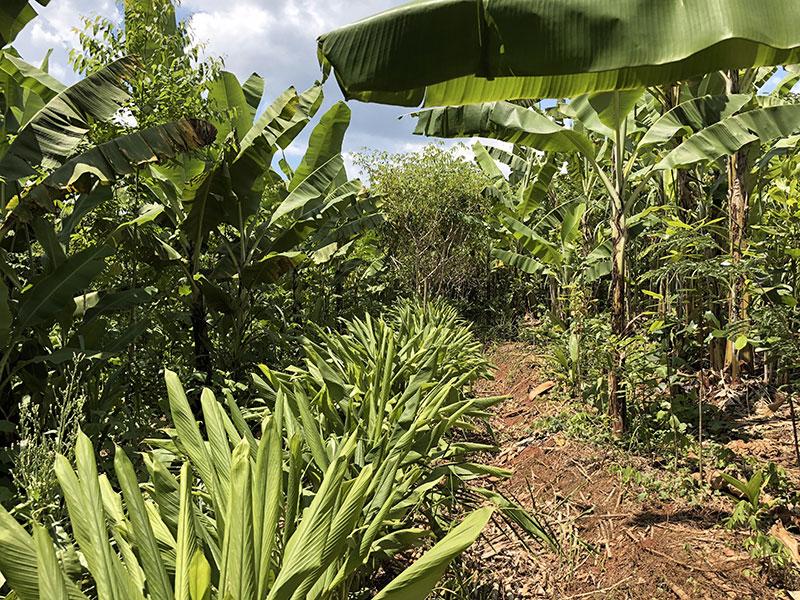 banane arbre