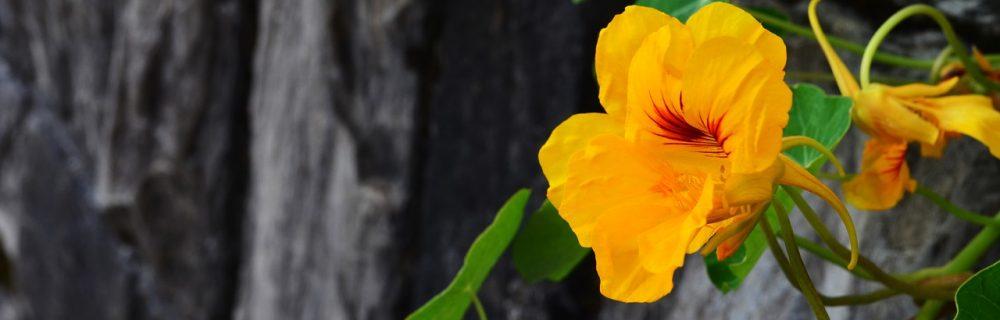 capucines jaune oleomac