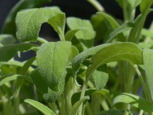 sauge vert jardin