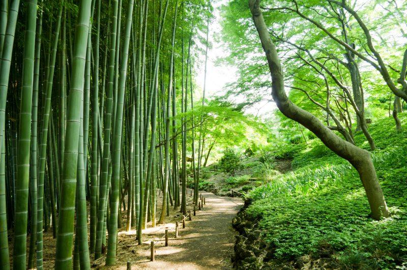 planter des haies bambous