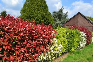 photinia_haie