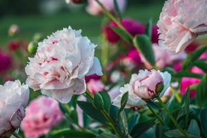 Fleur_pivoine