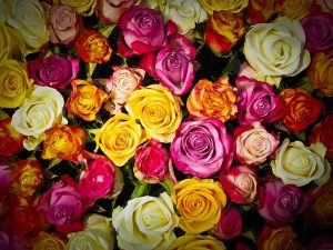 Roses_coloris