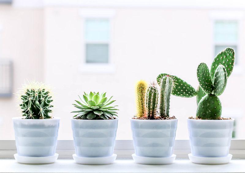 Cactus_plante_verte_bureau