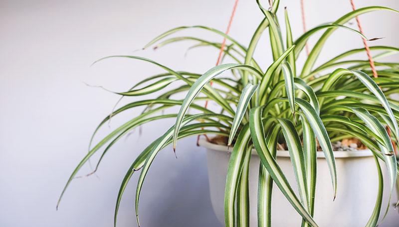 Chlorophytum_plante_verte_bureau