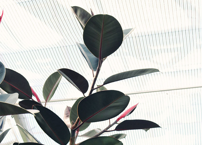Ficus-Elastica_plante_bureau