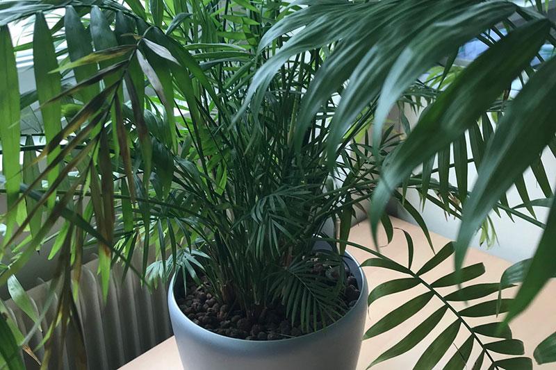 kentia_plante_bureau