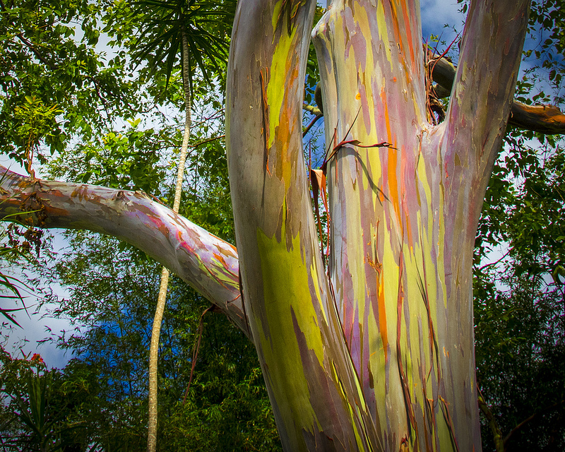 eucalyptus arc en ciel Photo credit Thomas James Caldwell via Visualhunt.com CC BY-ND